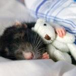 К чему женщине снятся крысы