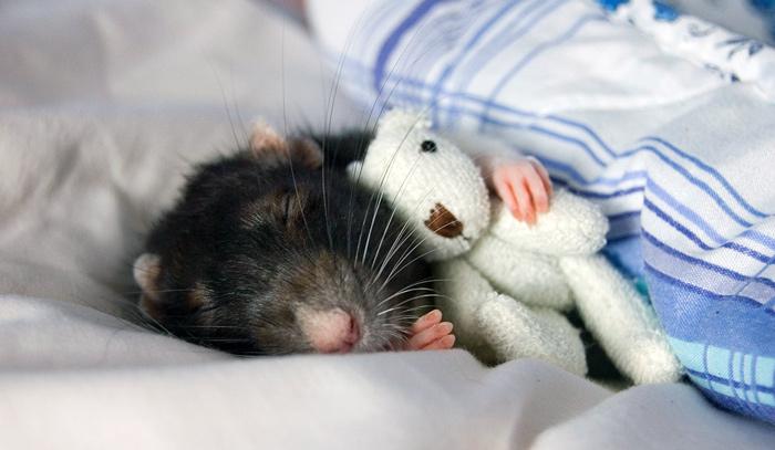 К чему снится большая мышь серая