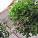 Что делать если Фикус Бенджамина сбрасывает листья?