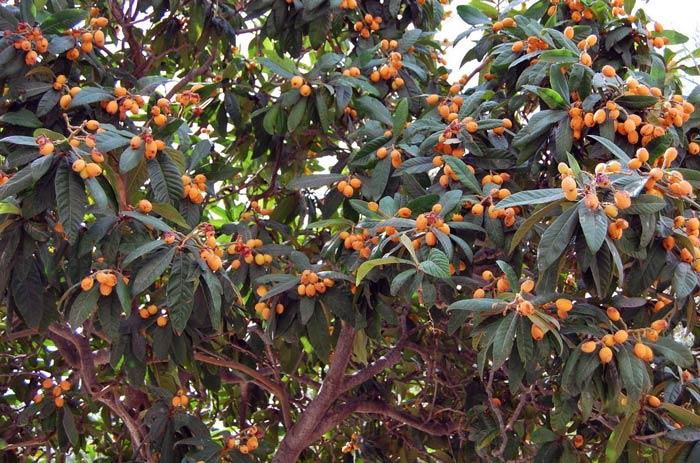 дерево мушмула